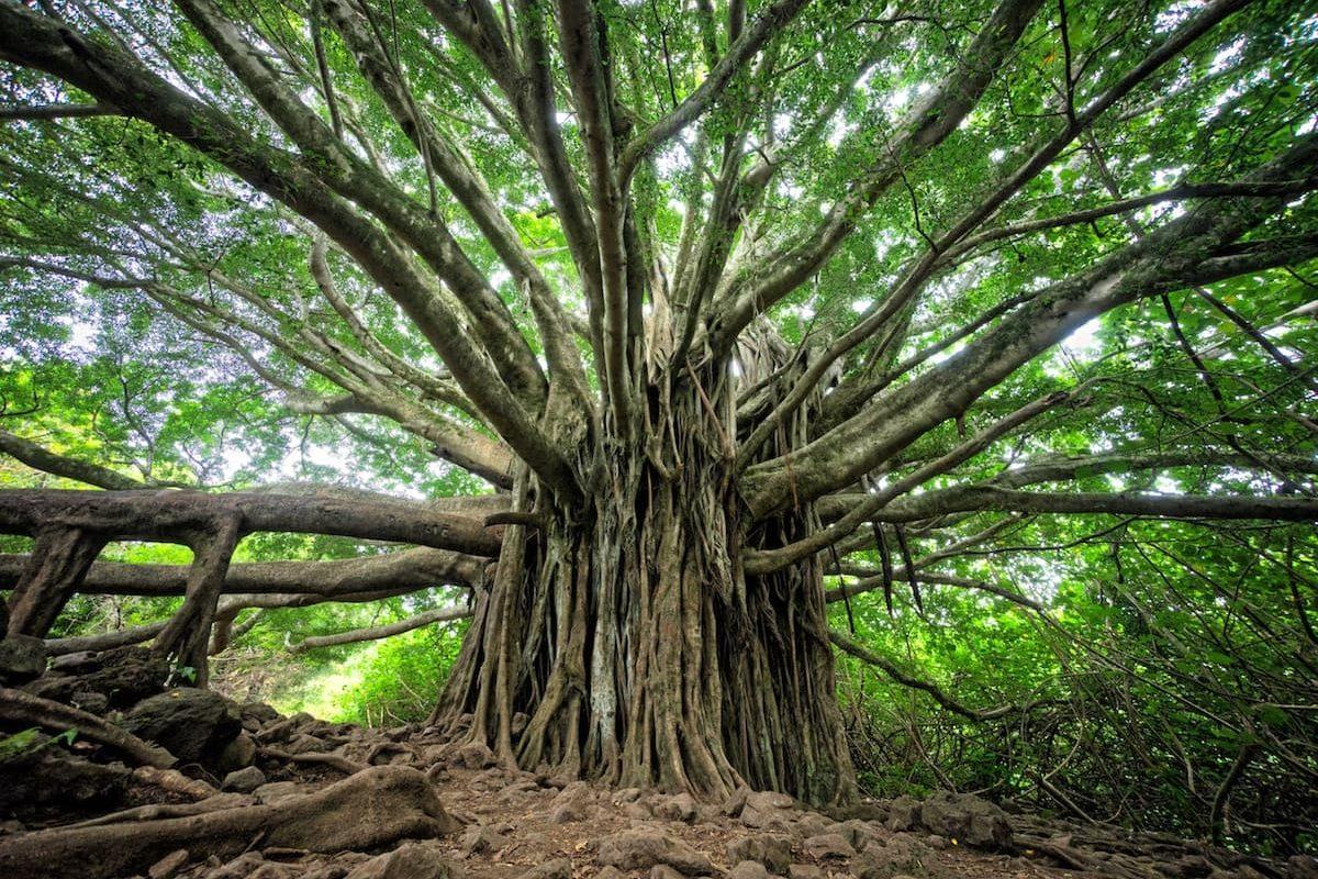Fotografía de un enorme árbol