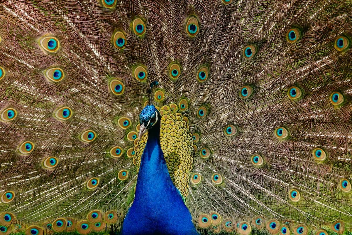 Picture of a beautiful peacock
